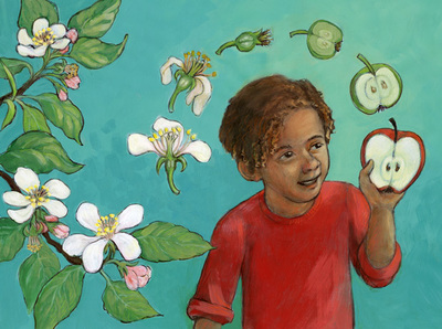 Stages from flower to fruit (apple), illustration by Siri Weber Feeney
